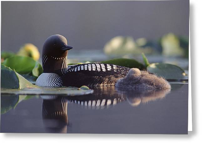 Baby Bird Greeting Cards - Pacific Loon Gavia Pacifica Parent Greeting Card by Michael Quinton
