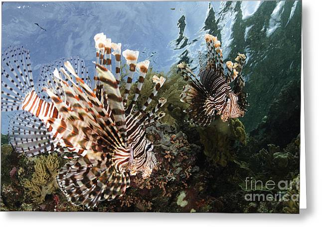 Lionfish Greeting Cards - Pair Of Lionfish, Indonesia Greeting Card by Todd Winner