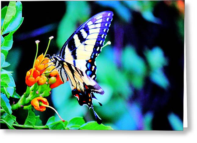 Colorful Photography Drawings Greeting Cards - Pale Swallowtail Butterfly Greeting Card by Barry Jones