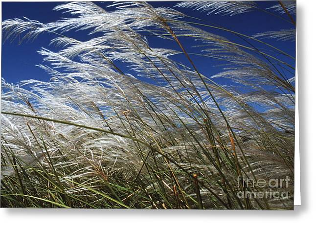 Pampas Grass Greeting Cards - Pampas Grass Greeting Card by Peter Falkner