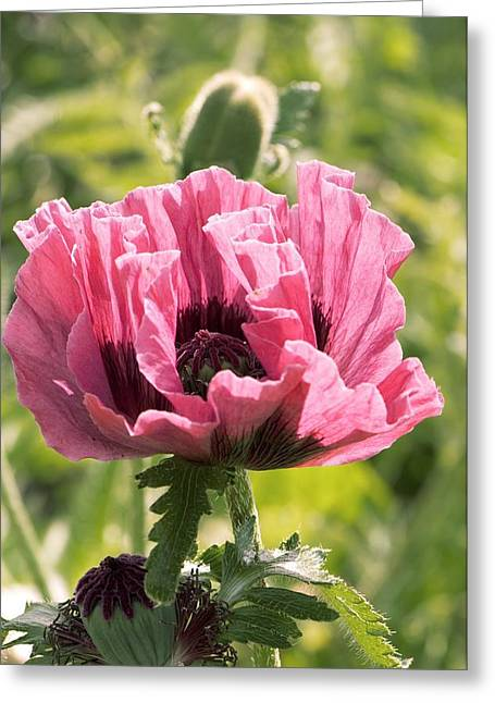 Papaver Orientale Greeting Cards - Papaver Orientale manhattan Greeting Card by Adrian Thomas