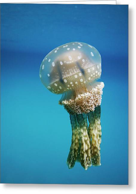 Medusa Greeting Cards - Papuan Jellyfish Mastigias Papua, Palau Greeting Card by Hiroya Minakuchi