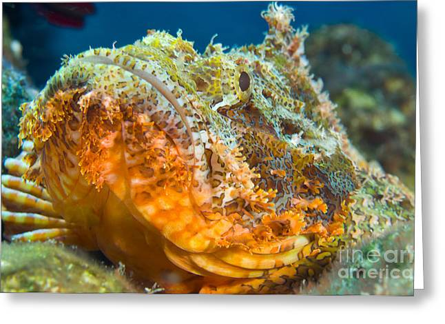 Osteichthyes Greeting Cards - Papuan Scorpionfish Lying On A Reef Greeting Card by Steve Jones
