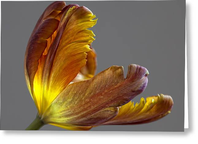 Parrot Tulip 21 Greeting Card by Robert Ullmann
