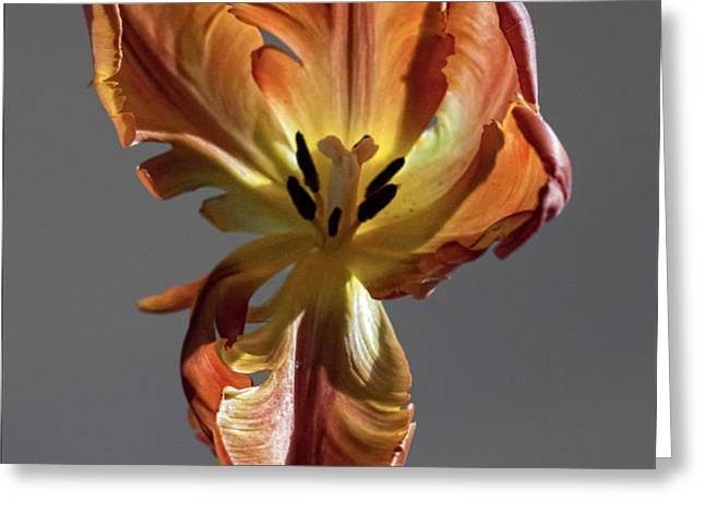 Parrot Tulip 24 Greeting Card by Robert Ullmann