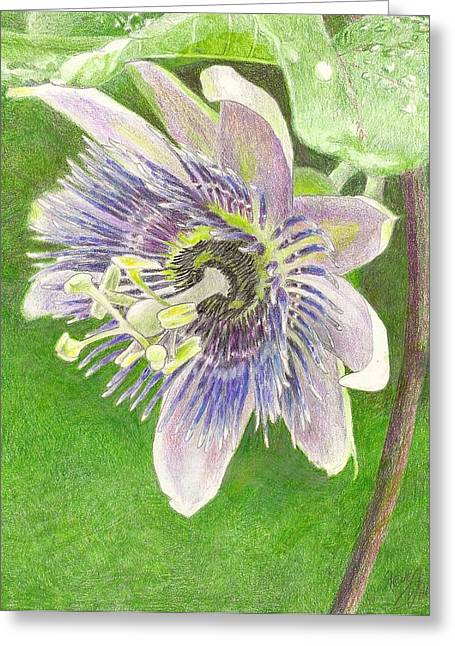 Alatocaerulea Drawings Greeting Cards - Passiflora alatocaerulea Greeting Card by Steve Asbell