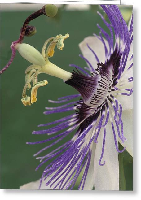 Passiflora Greeting Cards - Passion Flower Greeting Card by Archie Young