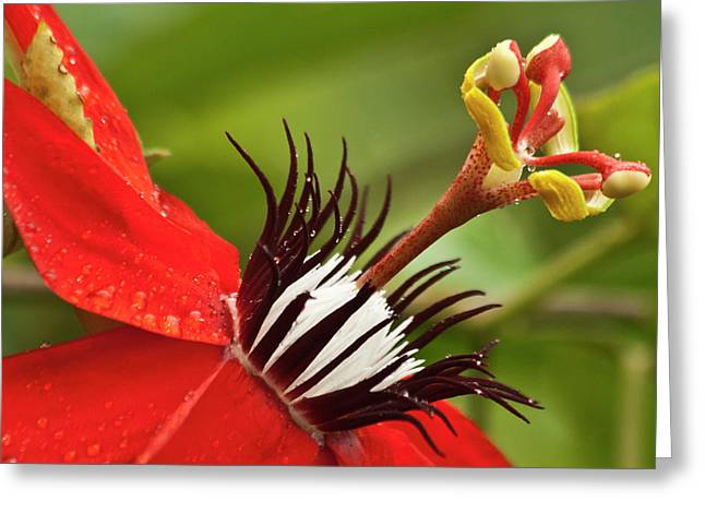 Passion Fruit Photographs Greeting Cards - Passionate flower Greeting Card by Heiko Koehrer-Wagner