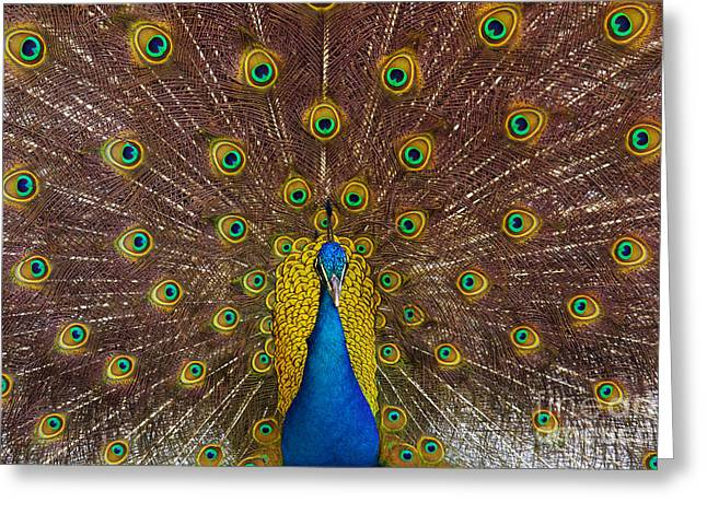 Peafowl Greeting Cards - Peacock Greeting Card by Carlos Caetano