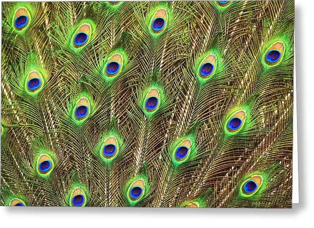 Ostentatious Greeting Cards - Peacock Feathers Greeting Card by Georgette Douwma