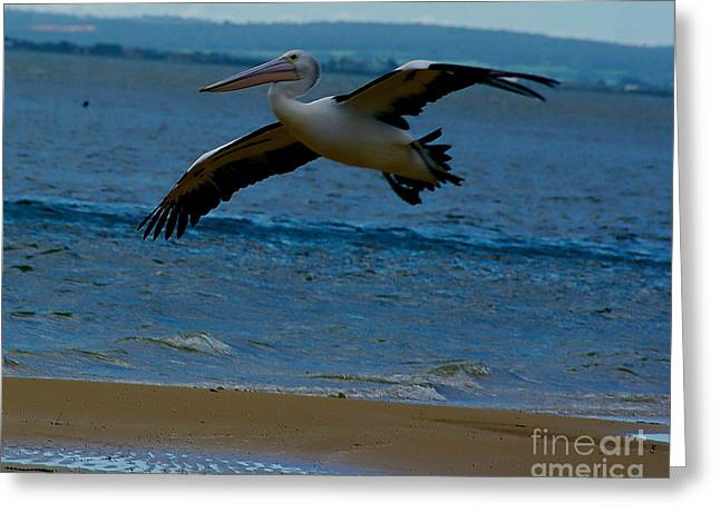 Seabirds Greeting Cards - Pelican in flight Greeting Card by Blair Stuart