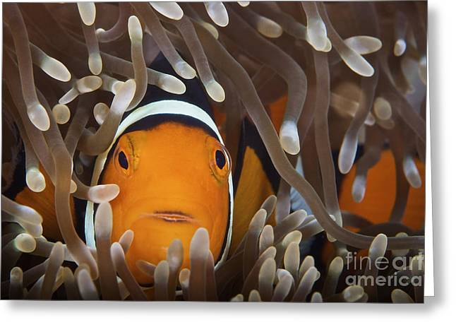 Pomacentridae Greeting Cards - Percula Clownfish In Its Host Anemone Greeting Card by Terry Moore