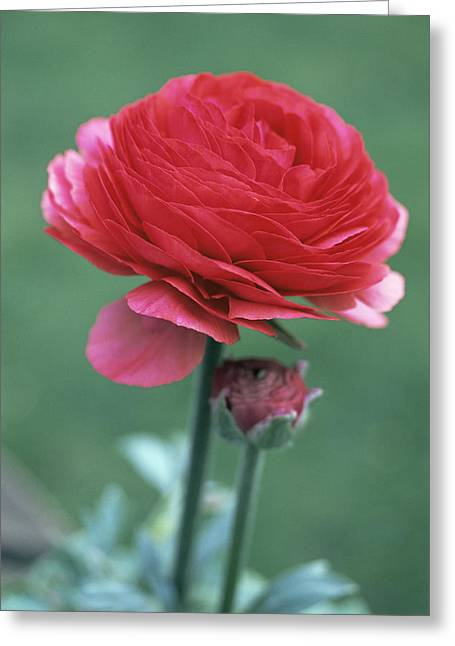 Ranunculus Greeting Cards - Persian Buttercup (ranunculus Asiaticus) Greeting Card by Maxine Adcock