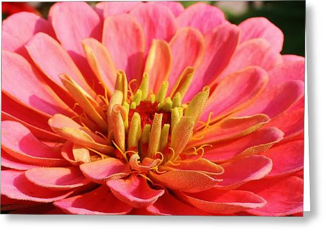 Petals Of Pink Greeting Card by Bruce Bley
