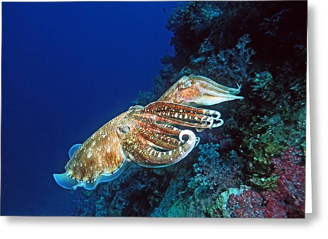 Protected Sea Life Greeting Cards - Pharaoh Cuttlefish Reproduction Greeting Card by Georgette Douwma
