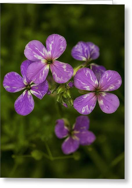 Best Sellers -  - Pinks And Purple Petals Photographs Greeting Cards - Phlox Greeting Card by Sara Hudock