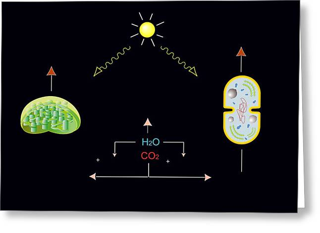 Energy Conversion Greeting Cards - Photosynthesis, Artwork Greeting Card by Francis Leroy, Biocosmos