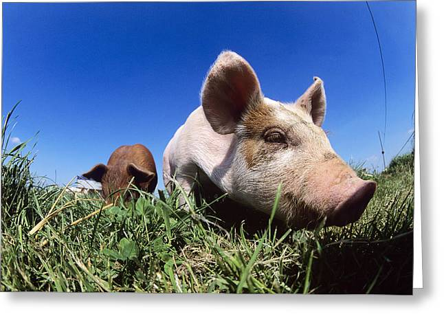Piglets Greeting Cards - Piglet Greeting Card by Jeremy Walker