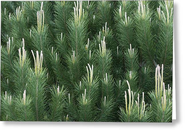 Pinaceae Greeting Cards - Pine Spring Growth Santa Cruz California Greeting Card by Sebastian Kennerknecht