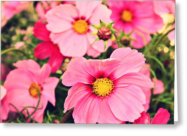 Oregon Flowers Greeting Cards - Pink Cosmos Greeting Card by Cathie Tyler