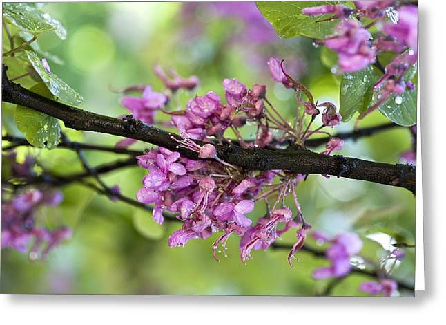 Flower Pictures Greeting Cards - Pink flowers of the Love Tree Greeting Card by Frank Tschakert