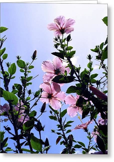 Kevin W. Smith Greeting Cards - Pink Hibiscus Greeting Card by Kevin Smith