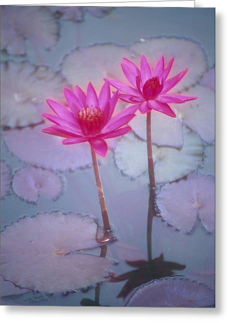 Nature Center Pond Photographs Greeting Cards - Pink Lily Blossom Greeting Card by Ron Dahlquist - Printscapes