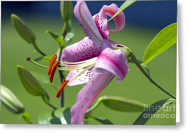 Asiatic Greeting Cards - Pink Lily Greeting Card by Sharon  Talson