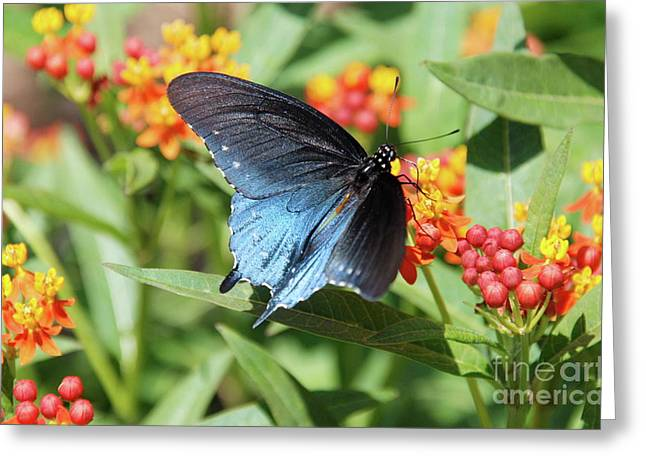 Ken Williams Greeting Cards - Pipevine Swallowtail  Greeting Card by Ken Williams