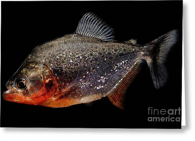 Aquarium Fish Greeting Cards - Piranha Greeting Card by Danté Fenolio