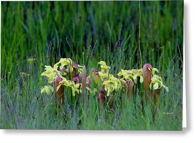 Yellow Cobra Greeting Cards - Pitcher Plant Greeting Card by Diana  Tyson