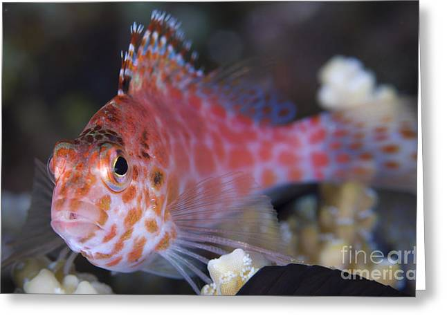 Osteichthyes Greeting Cards - Pixy Hawkfish, Kimbe Bay, Papua New Greeting Card by Steve Jones