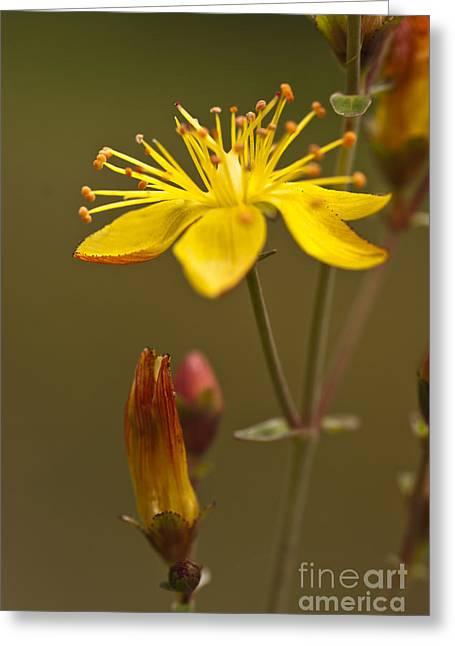 Mangosteen Greeting Cards - Plant St Johns Wort Hypericum perforatum Flowers Greeting Card by Hugh McKean