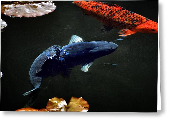 Oranda Greeting Cards - Playing Koi Greeting Card by Don Mann