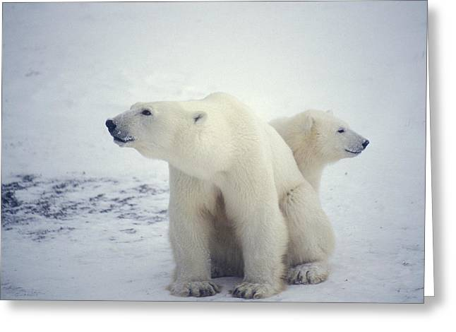 Polar Bear And Cub Greeting Card by Chris Martin-bahr