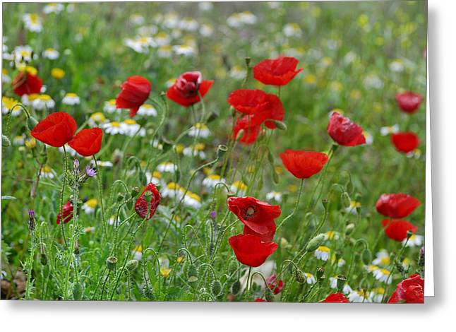 Poppies Greeting Card by Guido Montanes Castillo