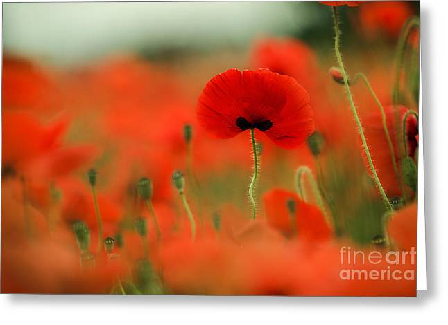 Blossoming Greeting Cards - Poppy Flowers 01 Greeting Card by Nailia Schwarz