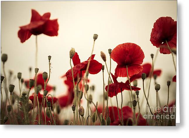 Botanicals Greeting Cards - Poppy Flowers 03 Greeting Card by Nailia Schwarz