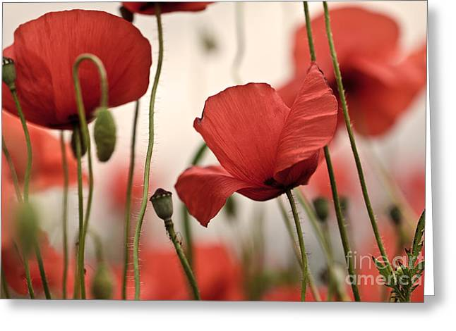 Blossoming Greeting Cards - Poppy Flowers 04 Greeting Card by Nailia Schwarz