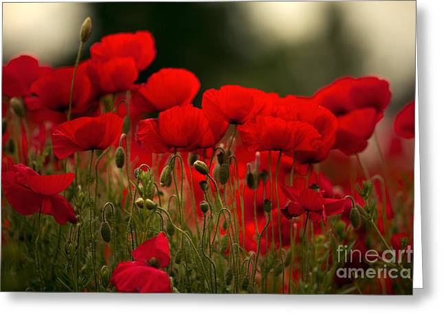 Blossoming Greeting Cards - Poppy Flowers 05 Greeting Card by Nailia Schwarz