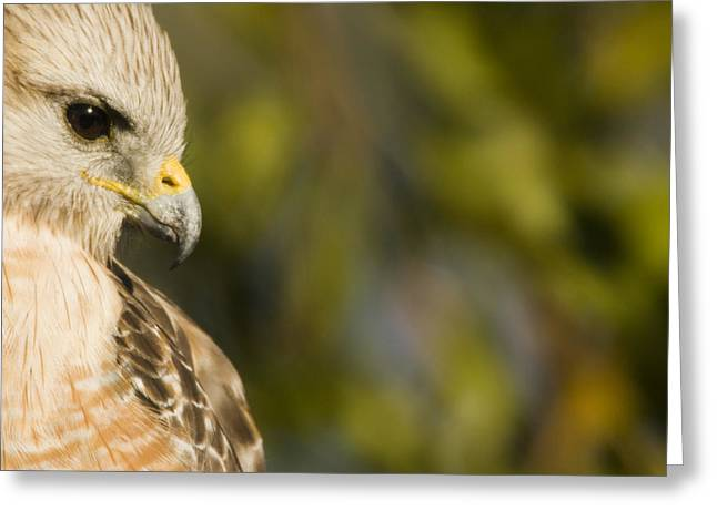 Red Shouldered Hawk Greeting Cards - Portrait Of A Florida Red-shouldered Greeting Card by Tim Laman