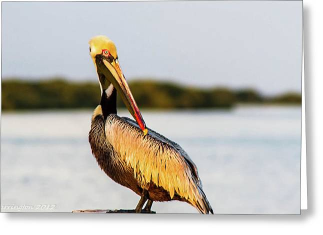 Cedar Key Greeting Cards - Posing Pelican Greeting Card by Shannon Harrington