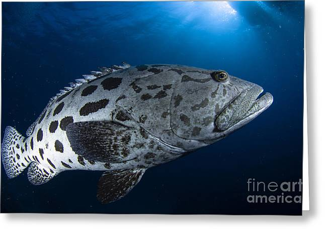 Osteichthyes Greeting Cards - Potato Grouper, Australia Greeting Card by Todd Winner