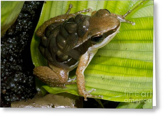 Parental Care Greeting Cards - Pratts Rocket Frog With Young Greeting Card by Dante Fenolio