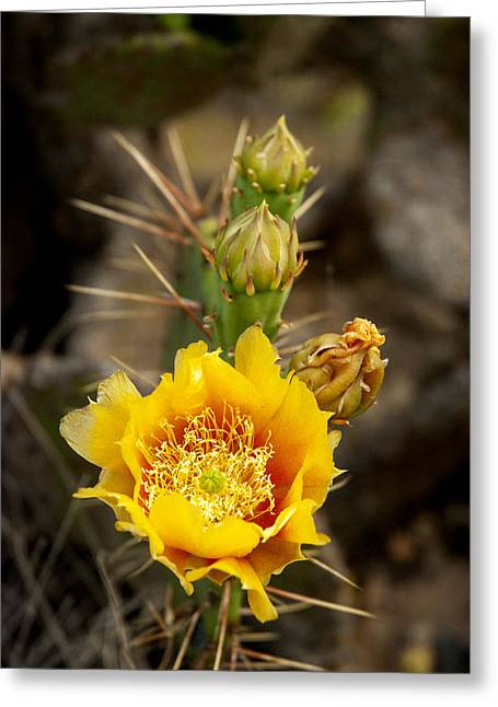 Prickly Greeting Cards - Prickly Bloom Greeting Card by Robert Anschutz