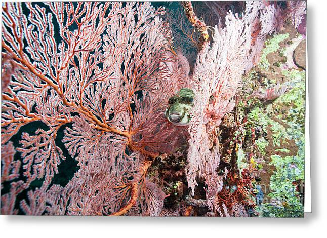 Puffer Greeting Cards - Pufferfish Hiding Amongst Sea Fans Greeting Card by Beverly Factor