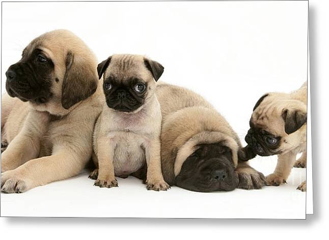 English Mastiff Greeting Cards - Pug And English Mastiff Puppies Greeting Card by Jane Burton
