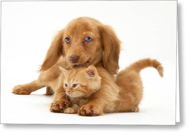 Miniature Dachshund Greeting Cards - Puppy And Kitten Greeting Card by Jane Burton