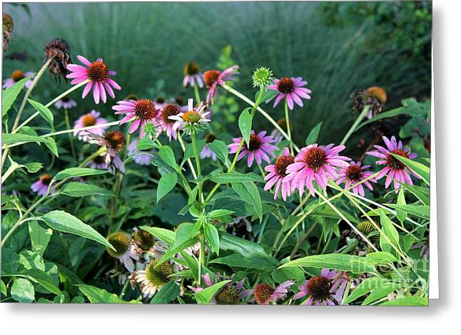Purple Coneflowers Greeting Card by Theresa Willingham
