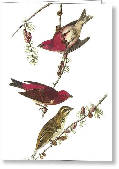 Finch Greeting Cards - Purple Finch Greeting Card by John James Audubon